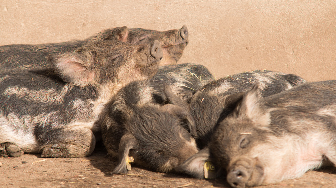 Young happy pigs lying in the sun in the farm pigsty