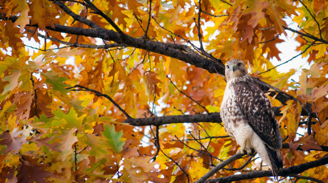 Red tail hawk perched in Central Park among autumn leaves. Perha